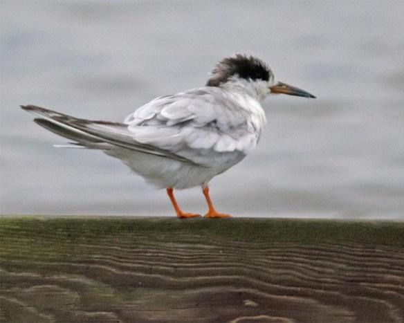 Forster's Tern 2017-97