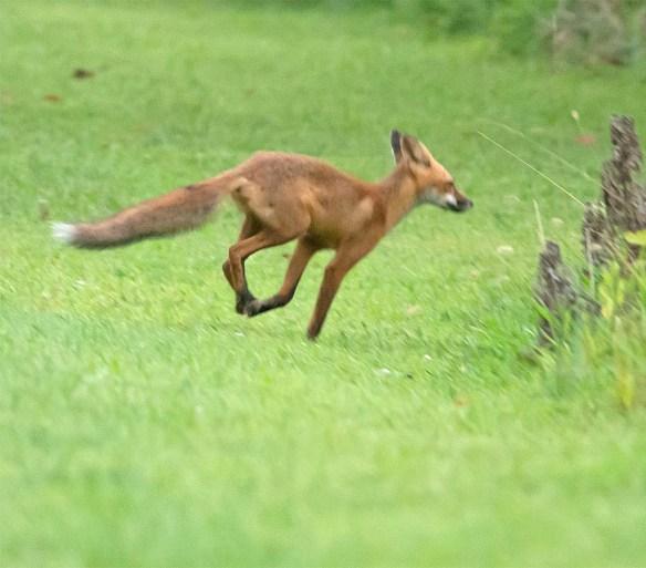Fox 77