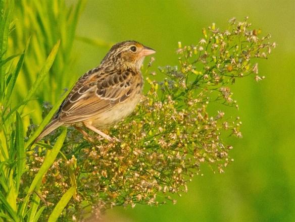 Grasshopper Sparrow 2017-7