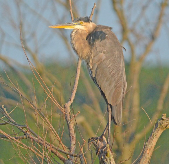 Great Blue Heron 2017-84