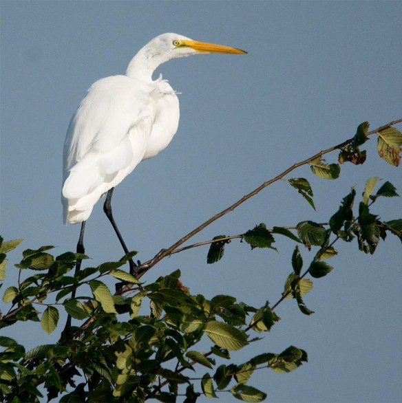 Great Egret 2017-105