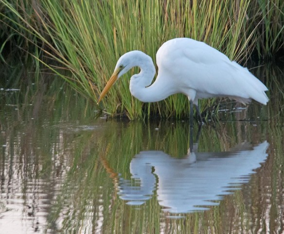 Great Egret 2017-111