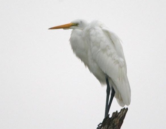 Great Egret 2017-121