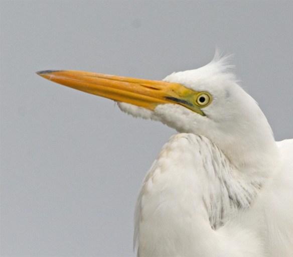 Great Egret 2017-125