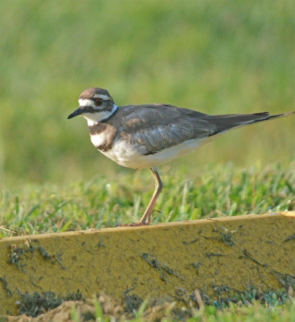 Killdeer 2017-12