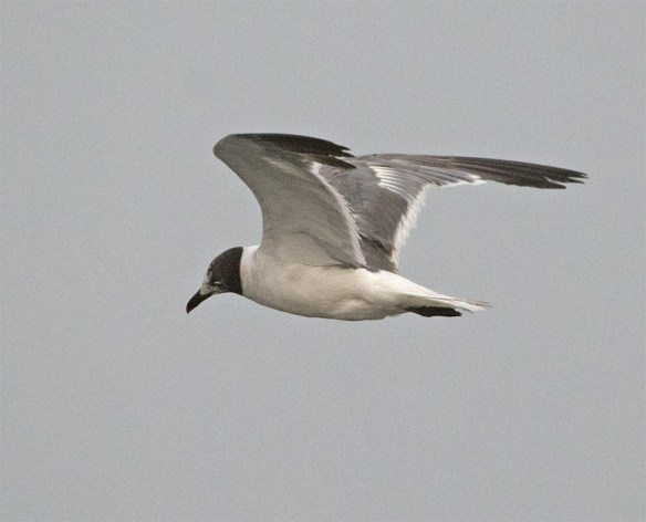 Laughing Gull 2017-7