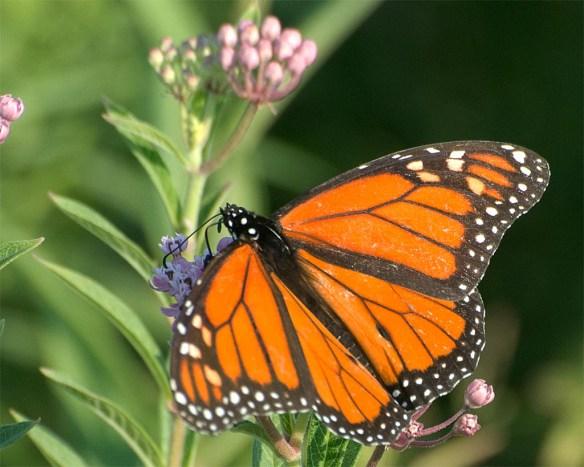 Monarch 49