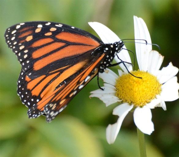 Monarch 53