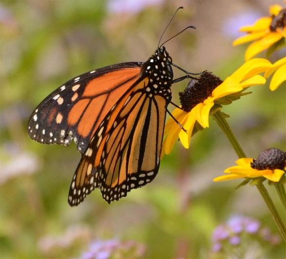 Monarch 55