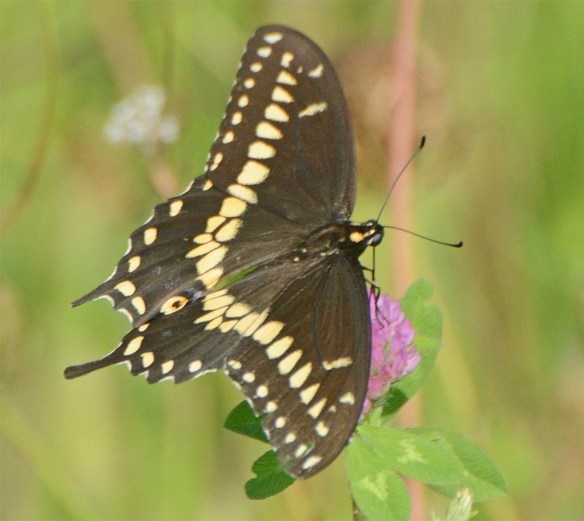 Palamedes Swallowtail 2