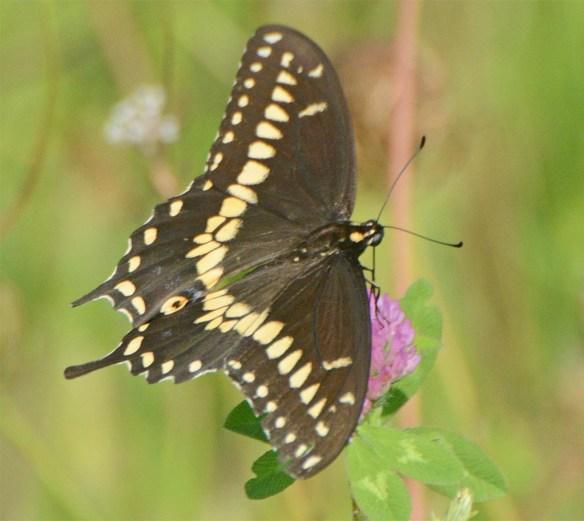 Palamedes Swallowtail 2