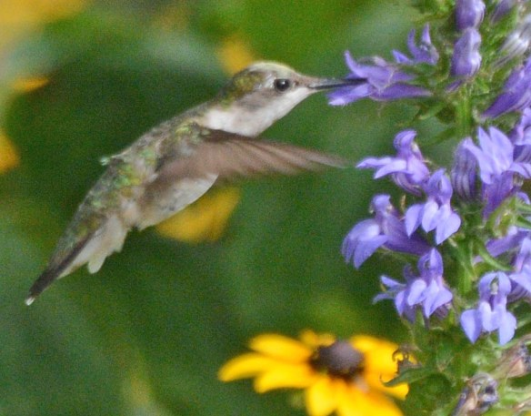 Ruby Throated Hummingbird 2017-13