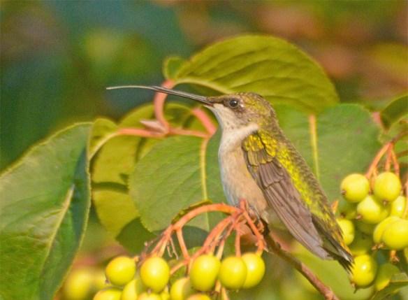 Ruby Throated Hummingbird 2017-19