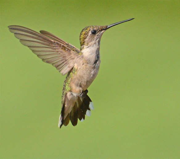 Ruby Throated Hummingbird 2017-26