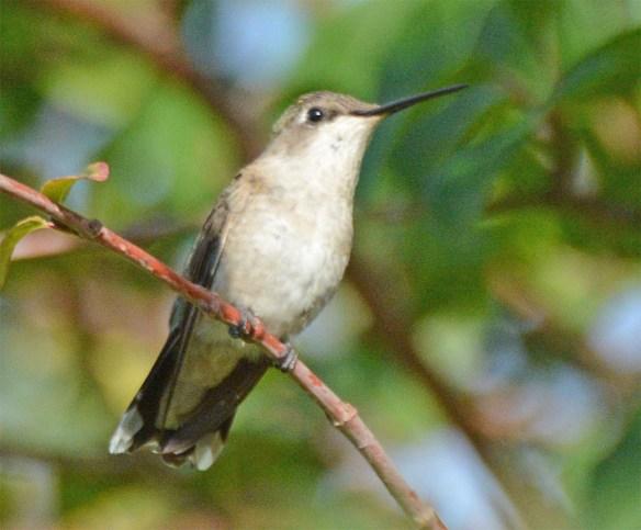 Ruby Throated Hummingbird 2017-32