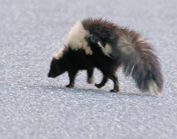 Skunk 9