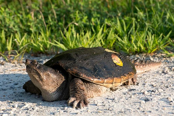 Snapping Turtle 26
