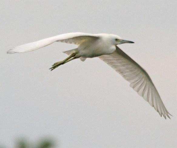 Snowy Egret 2017-66