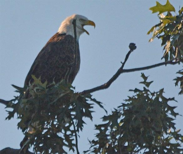 Bald Eagle 2017-161