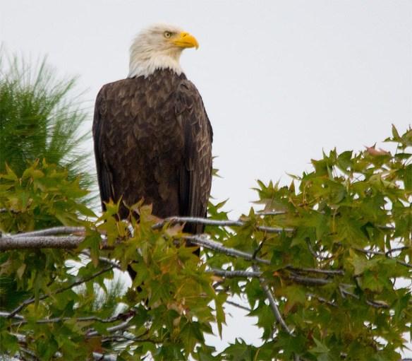 Bald Eagle 2017-162