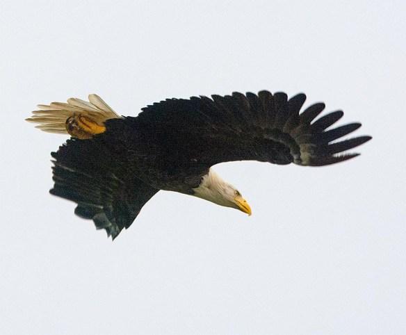 Bald Eagle 2017-163