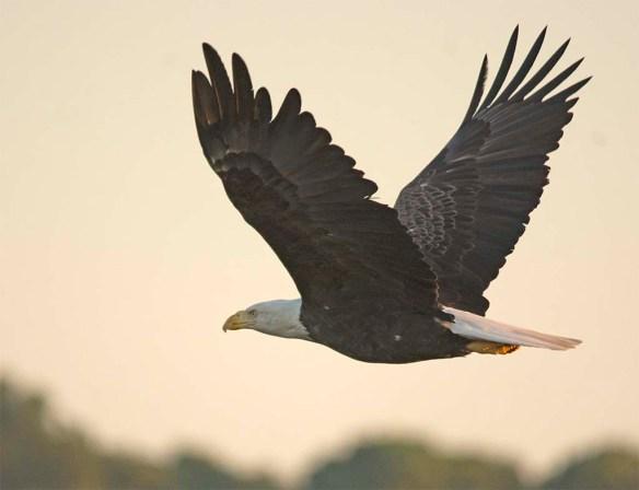 Bald Eagle 2017-167