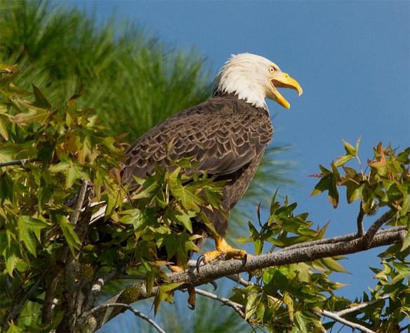 Bald Eagle 2017-169