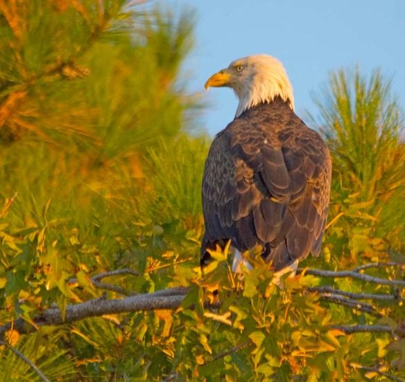 Bald Eagle 2017-170