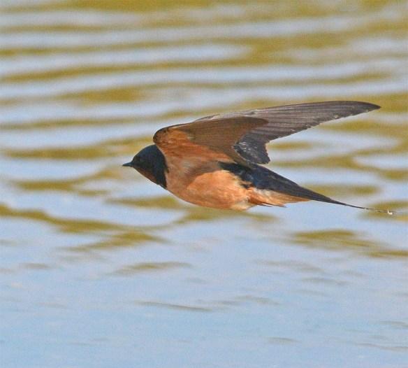 Barn Swallow 2017-36