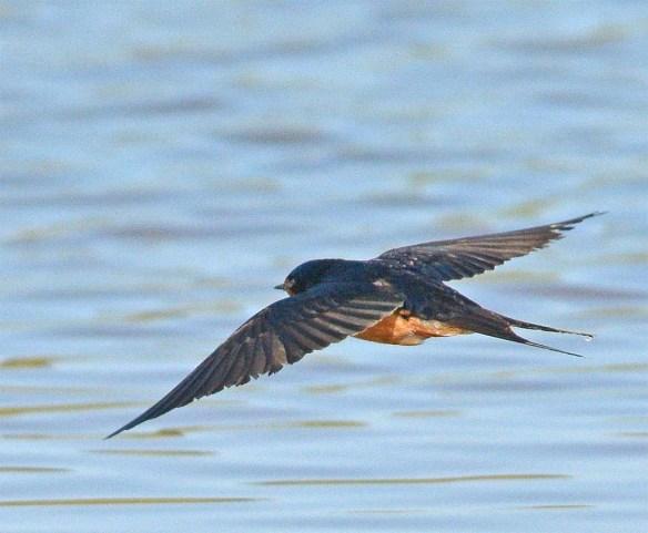 Barn Swallow 2017-37