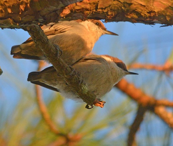 Brown Headed Nuthatch 2017-30
