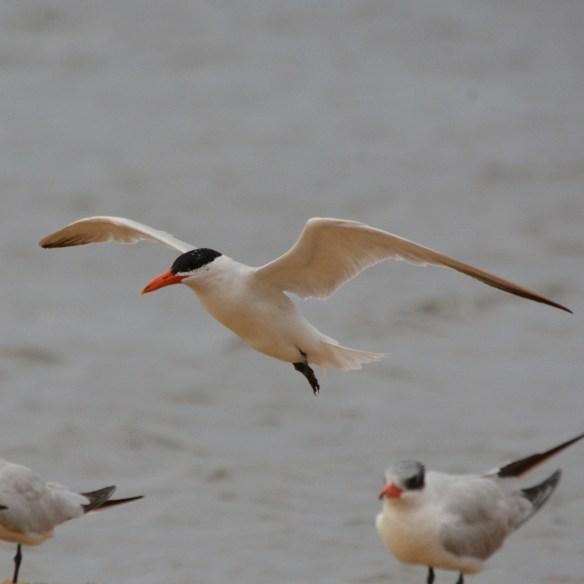 Caspian Tern 100