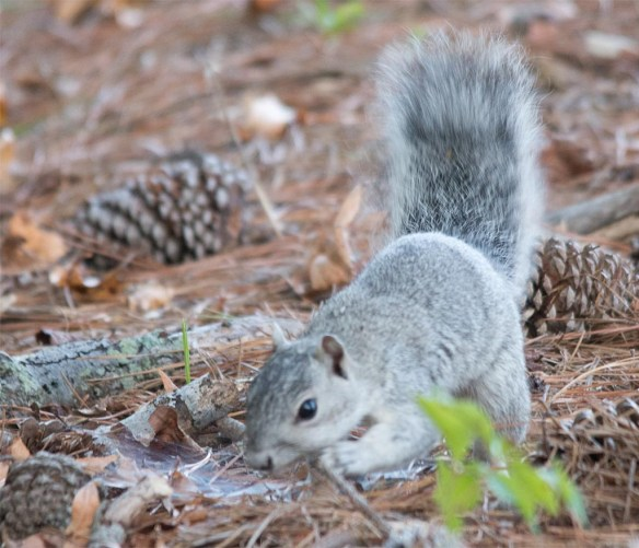 Delmarva Fox Squirrel 24