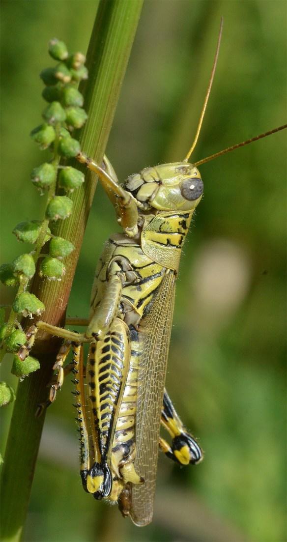 Differential Grasshopper 12