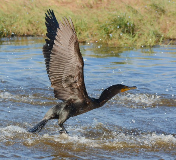 Double Crested Cormorant 2017-102