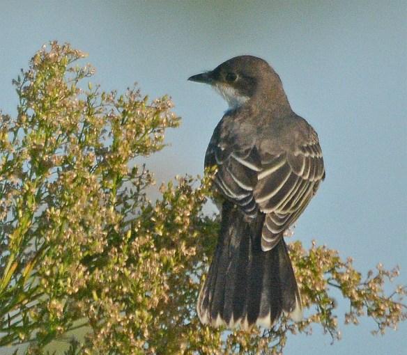 Eastern Kingbird 2017-38