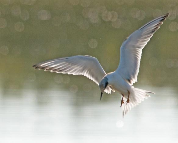 Forster's Tern 2017-105