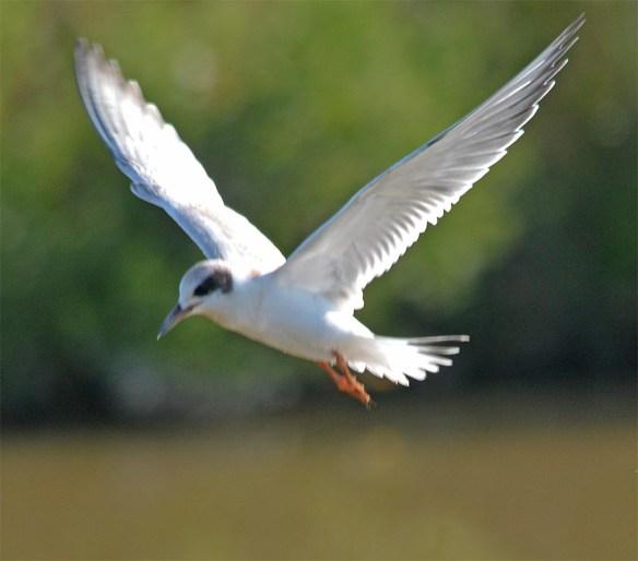 Forster's Tern 2017-108