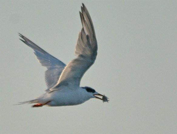 Forster's Tern 2017-111