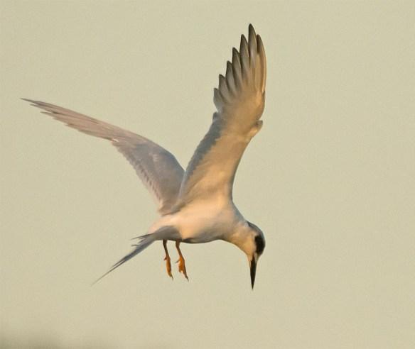 Forster's Tern 2017-115