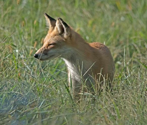 Fox 85