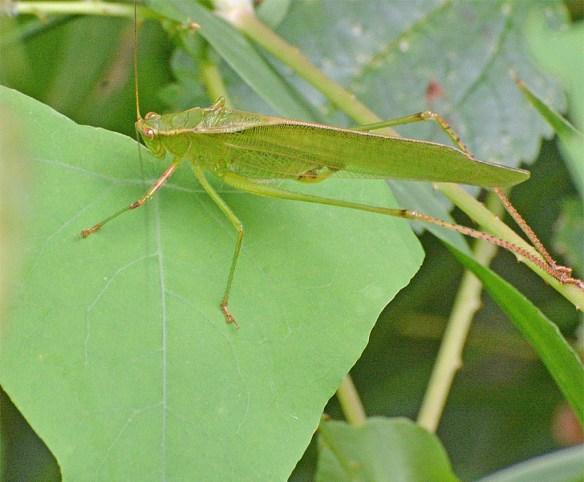 Grasshopper 220