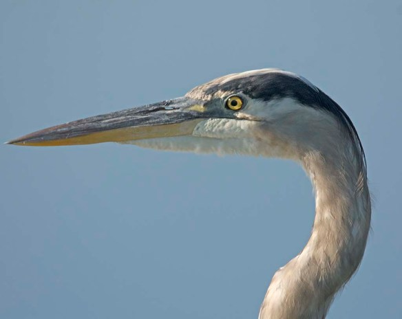 Great Blue Heron 2017-95