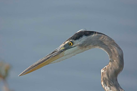 Great Blue Heron 2017-97 - Copy