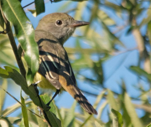 Great Crested Flycatcher 2017-15