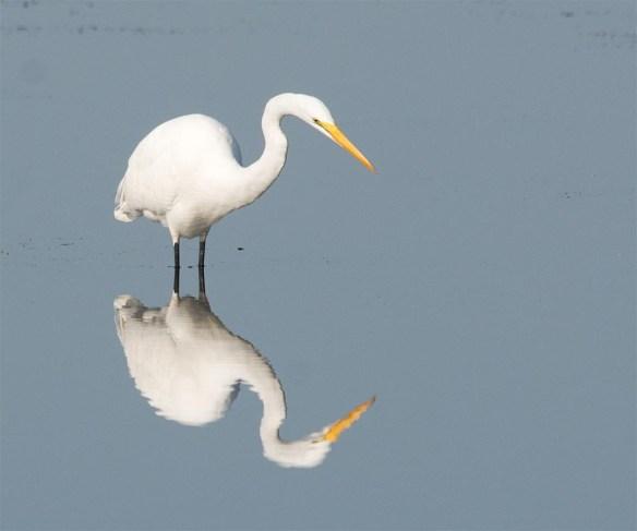 Great Egret 2017-129