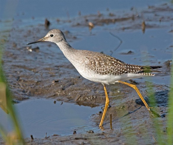 Greater Yellowlegs 2017-33