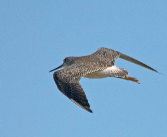Greater Yellowlegs 2017-35