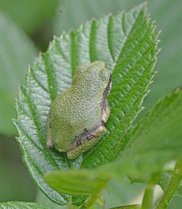 Green Tree Frog 8