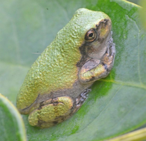 Green Tree Frog 9